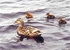 Contact Liveducks.com for permission to use this photo
